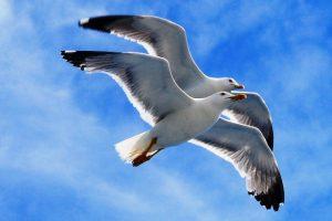 gabbiani in volo